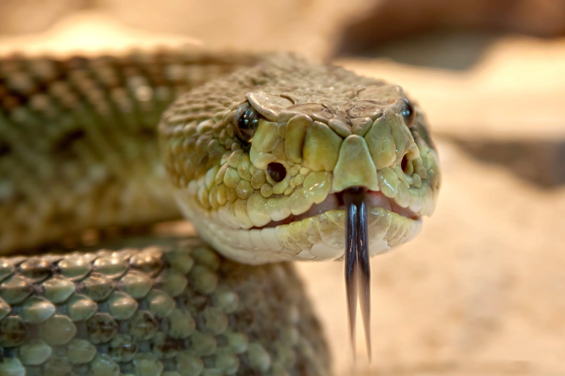 rattlesnake-toxic-snake-dangerous-38438.jpeg