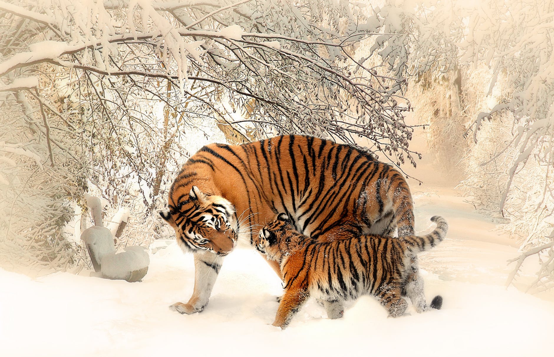 adult and cub tiger on snowfield near bare trees