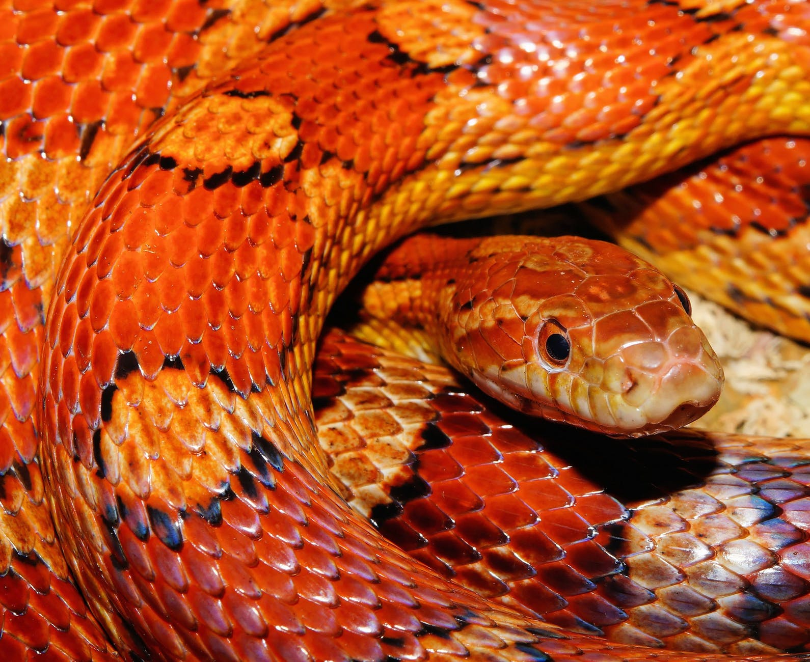 orange head reptile portrait