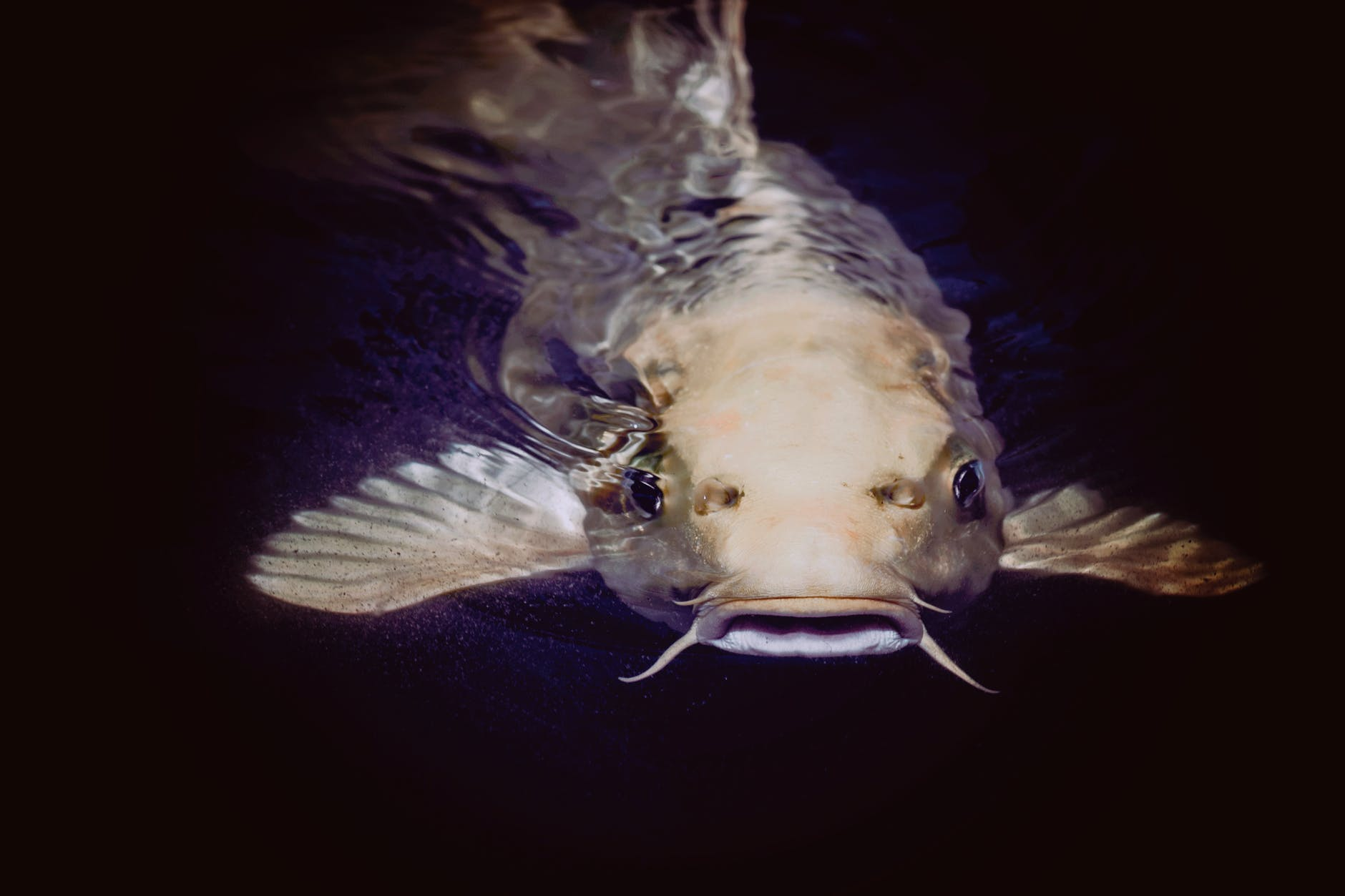 catfish in body of water