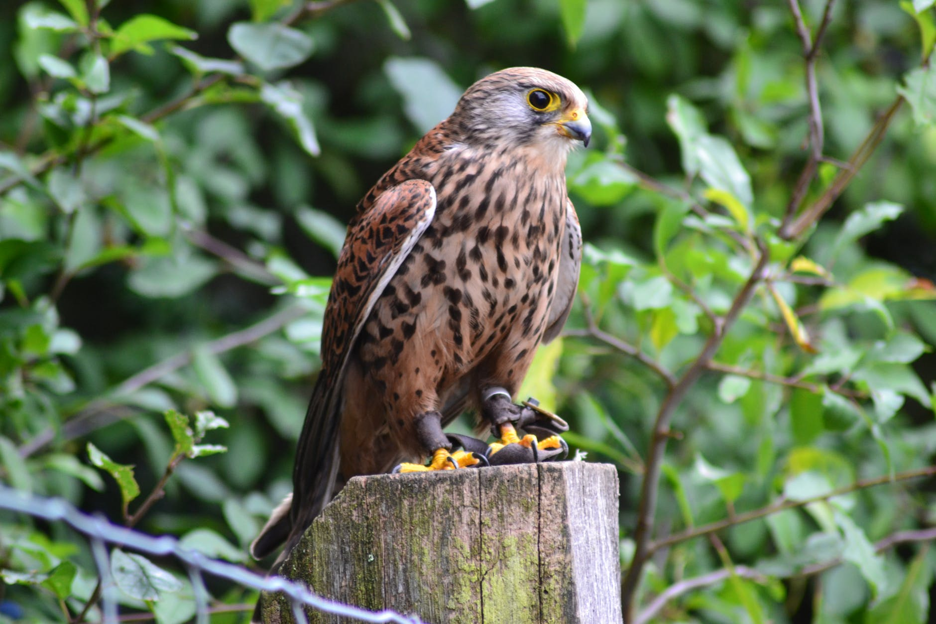 brown falcon on brown wooden surface