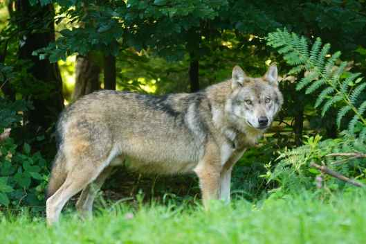brown wolf standing on green grass