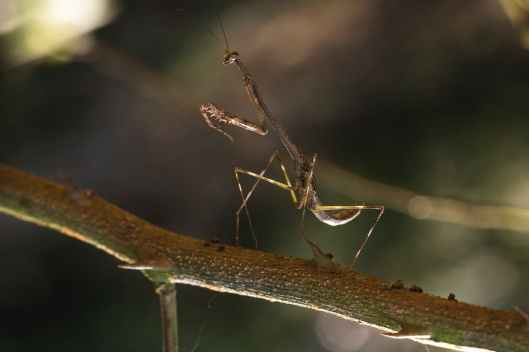 close up photo of brown praying mantis on a branch