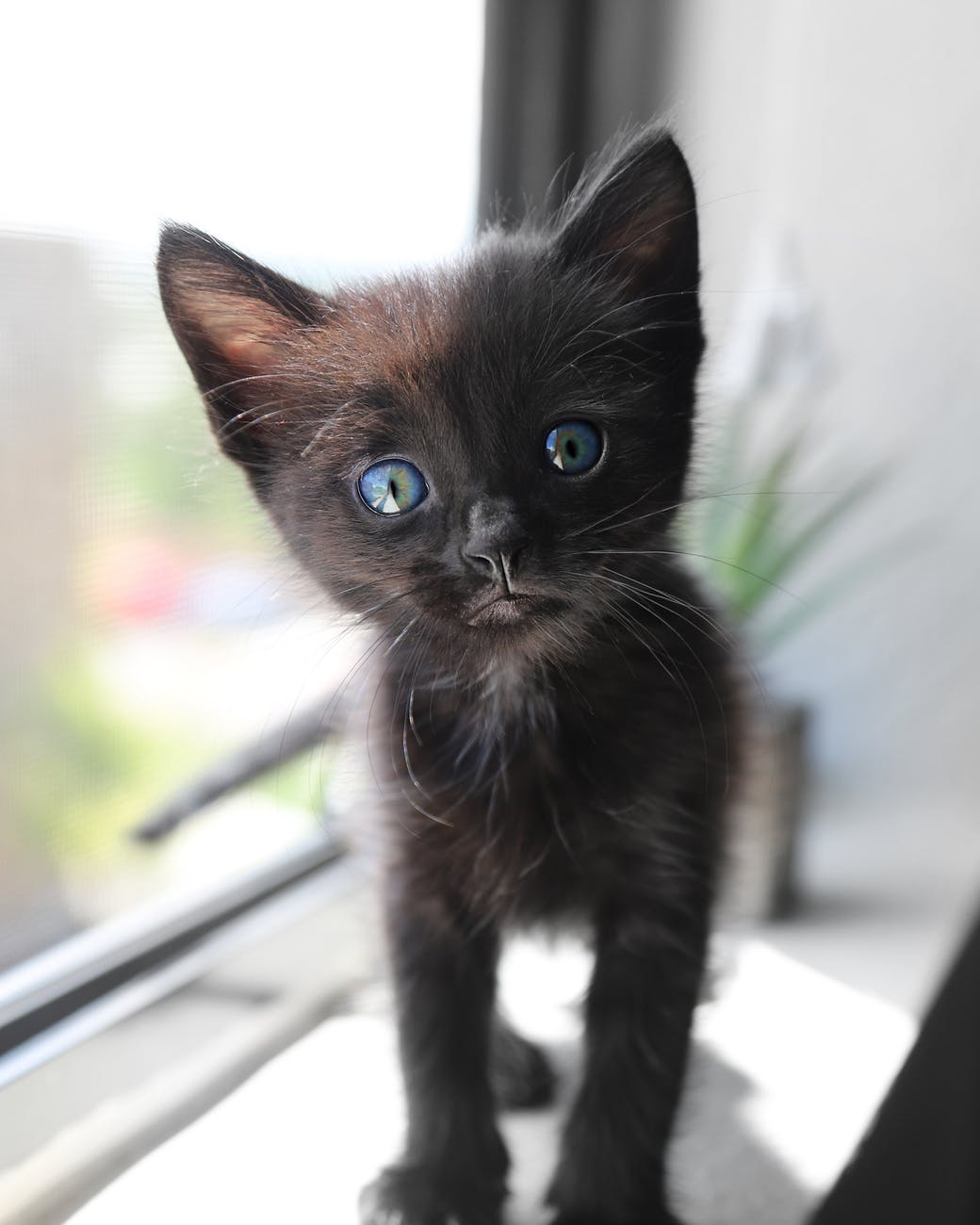 cute short fur black kitten with blue eyes