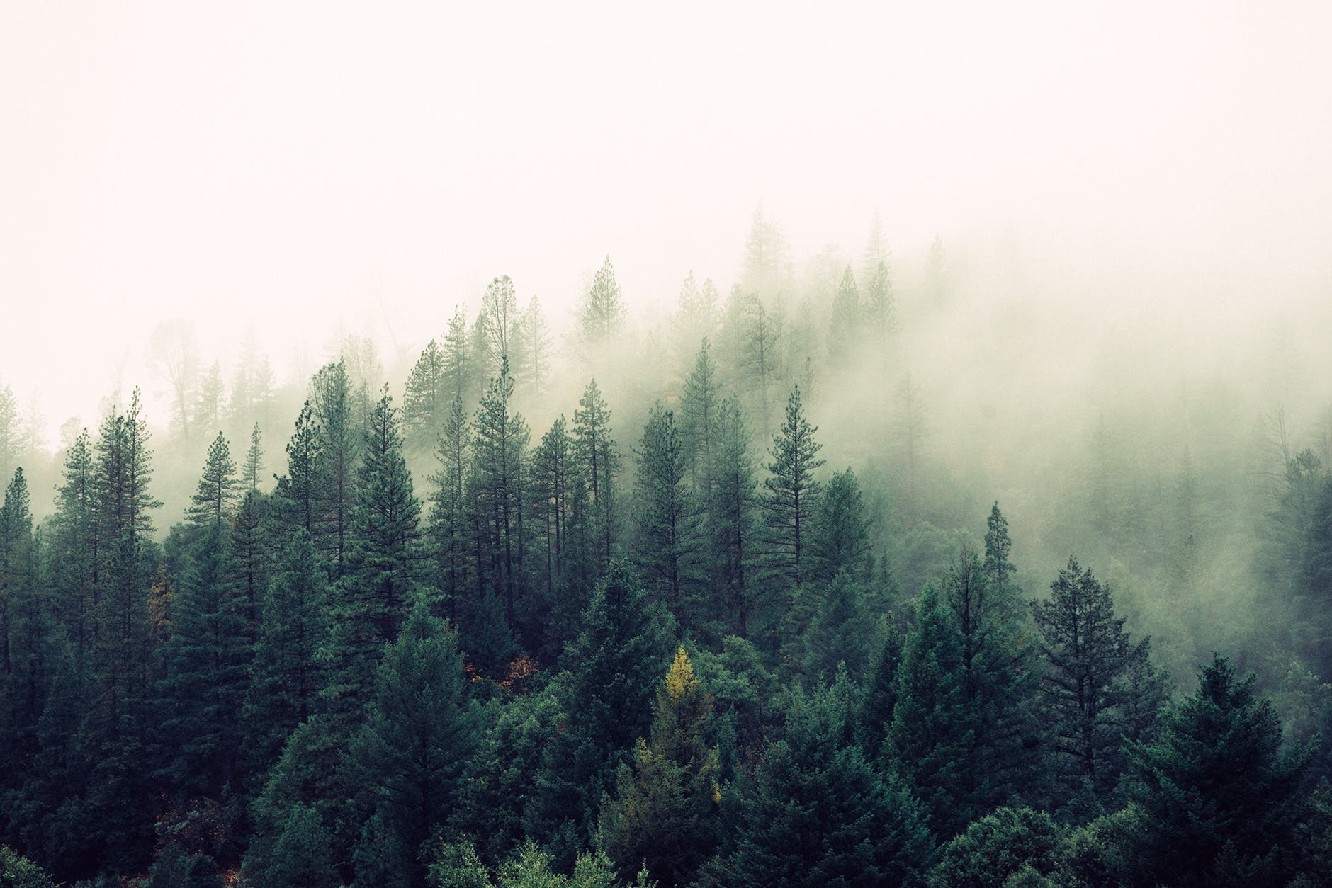nature forest trees fog