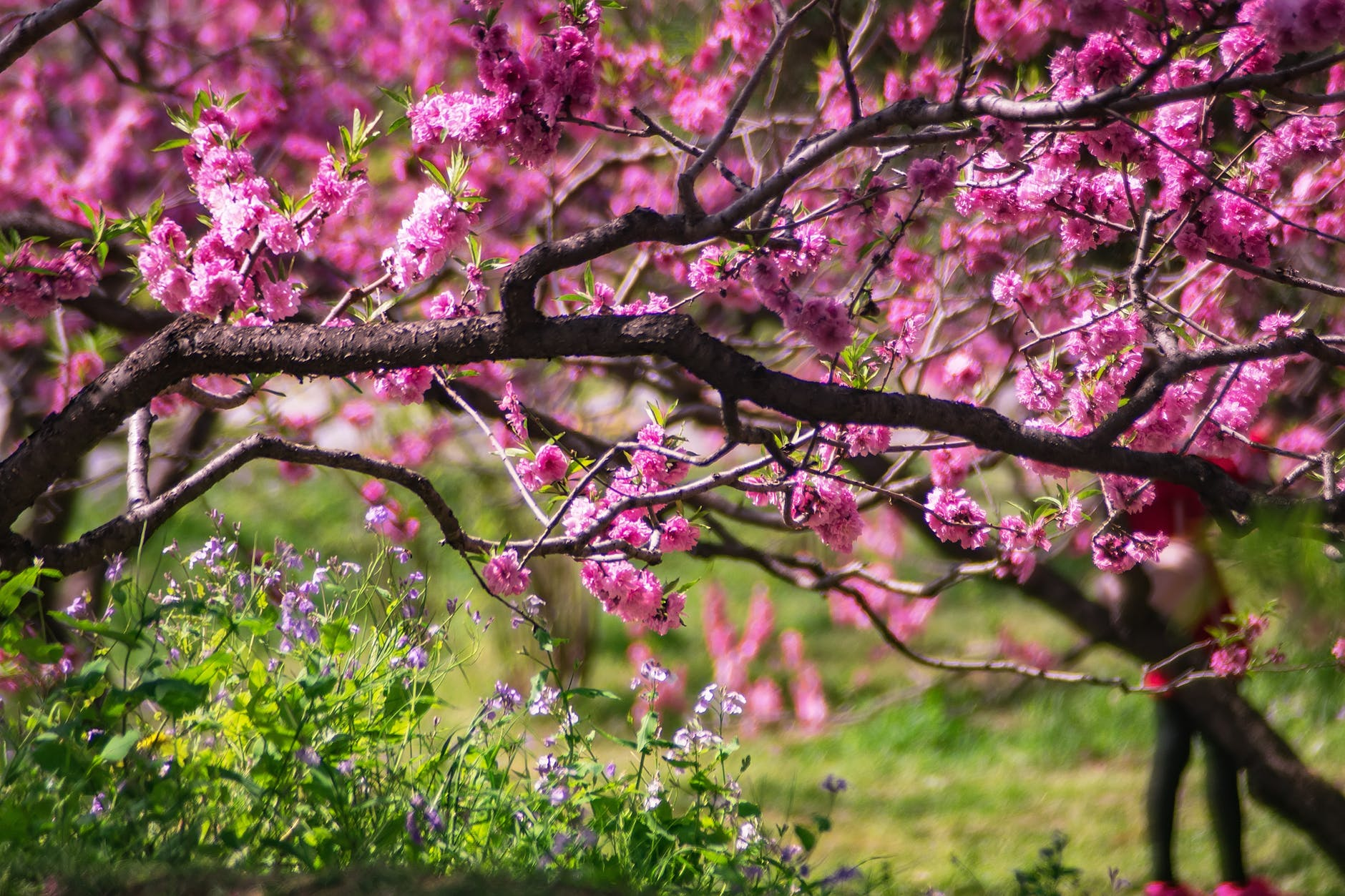 closeup photo of pink petaled flower tree