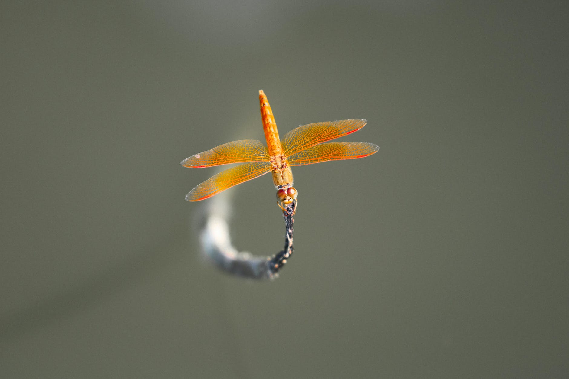 brown skimmer perched on gray leaf