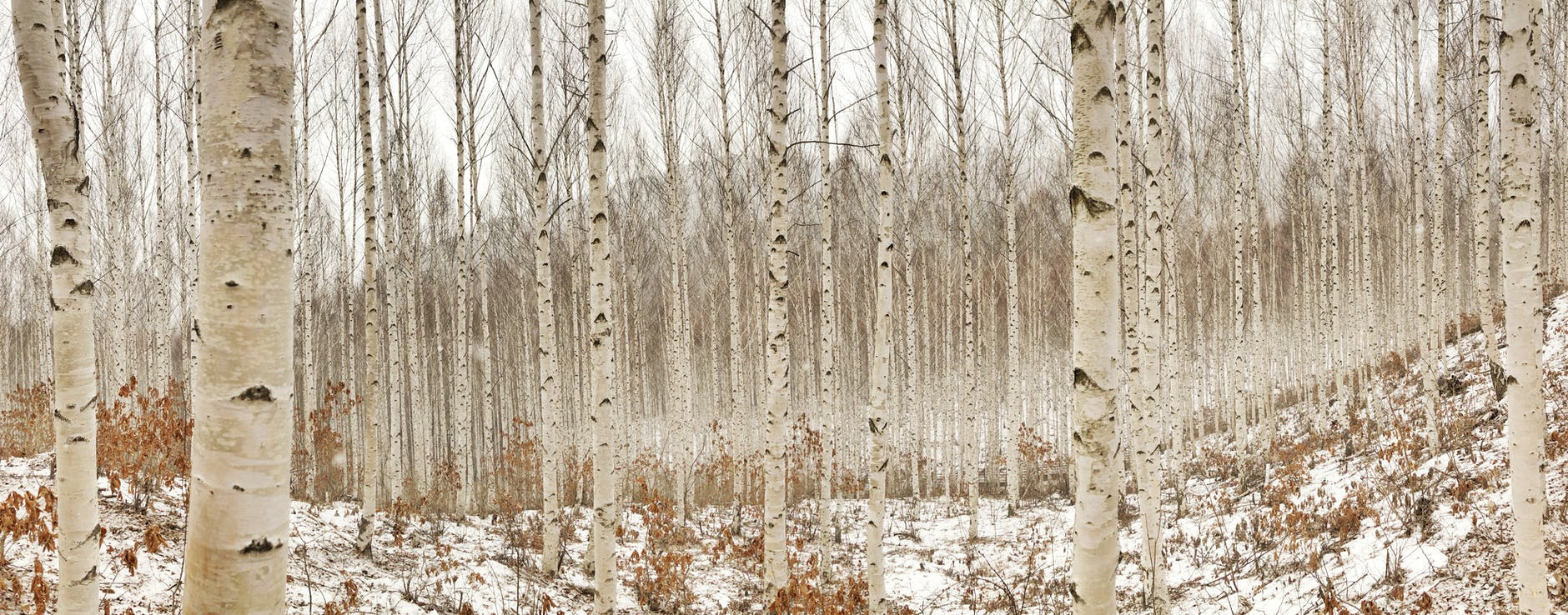 birch tree photography